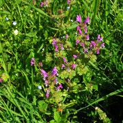 Stängelumfassende Taubnessel (Lamium amplexicaule)
