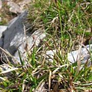 Polster-Segge (Carex firma)