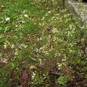 Acker-Schmalwand (Arabidopsis thaliana)