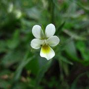 Acker-Stiefmütterchen (Viola arvensis)
