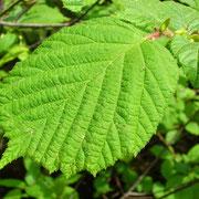 Gewöhnliche Hasel (Corylus avellana)