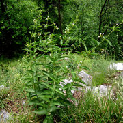 Echte Schwalbenwurz (Vincetoxicum hirundinaria)