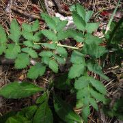 Hirschwurz (Cervaria rivini)