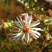 Lanzett-Herbstaster (Symphyotrichum lanceolatum)