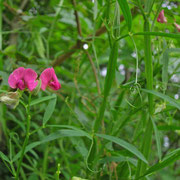 Wild-Platterbse (Lathyrus sylvestris)