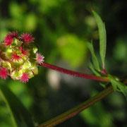 Kleiner Wiesenknopf (Sanguisorba minor) | obere (weibliche) Blüten