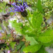 Berg-Blauflockenblume (Cyanus montanus)