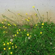 Gewöhnliches Ferkelkraut (Hypochaeris radicata)