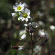 Schmalfrucht-Hungerblümchen (Draba verna)