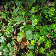 Wechselblatt-Milzkraut (Chrysosplenium alternifolium)