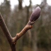 Schwarz-Erle (Alnus glutinosa) | Knospe