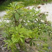 Rot-Holunder (Sambucus racemosa)
