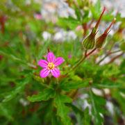 Purpur-Storchschnabel (Geranium purpureum)