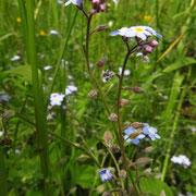 Wald-Vergissmeinnicht (Myosotis sylvatica)