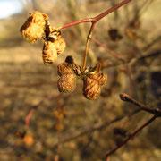 Gewöhnliches Pfaffenkäppchen (Euonymus europaeus)