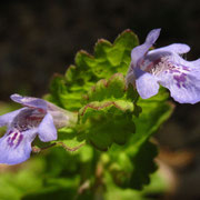 Echte Gundelrebe (Glechoma hederacea)