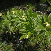 Neunblättchen-Zahnwurz (Cardamine enneaphyllos)
