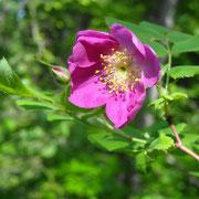 Hängefrucht-Rose (Rosa pendulina)