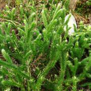Kolben-Bärlapp (Lycopodium clavatum)