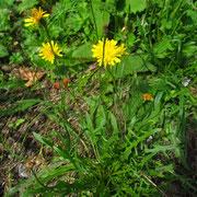 Herbst-Schuppenleuenzahn (Scorzoneroides autumnalis)