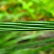 Horst-Rasenschmiele (Deschampsia cespitosa)