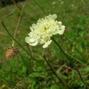 Gelbe Skabiose (Scabiosa ochroleuca)