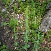 Gewöhnliche Turmkresse (Turritis glabra)