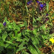 Echte Ochsenzunge (Anchusa officinalis)