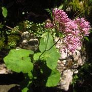 Kalk-Alpendost (Adenostyles glabra)