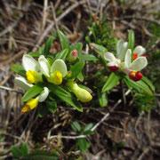 Buchs-Kreuzblume (Polygala chamaebuxus)