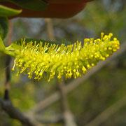 Bruch-Weide (Salix fragilis) | männliche Blüte