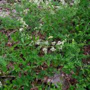 Glanz-Labkraut (Galium lucidum)