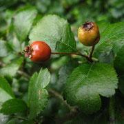 Zweigriffel-Weißdorn (Crataegus laevigata)