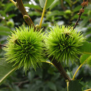 Edelkastanie (Castanea sativa) | Früchte