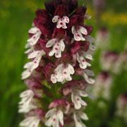 Brand-Keuschständel (Neotinea ustulata)