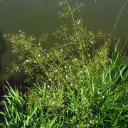 Gewöhnlicher Froschlöffel (Alimsa plantago-aquatica)