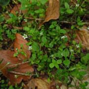 Dreinerven-Nabelmiere (Moehringia trinervia)