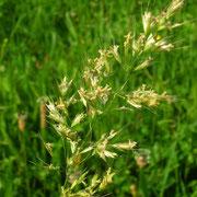 Wiesen-Goldhafer (Trisetum flavescens)