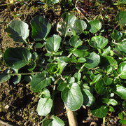 Echte Barbarakresse (Barbarea vulgaris)