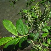 Großblatt-Weide (Salix appendiculata) | weibliche Pflanze