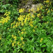 Voralpen-Aschenkraut (Tephroseris longifolia)