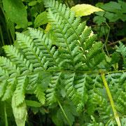Großer Dornfarn (Dryopteris dilatata)