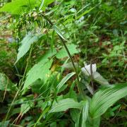 Grün-Ständelwurz (Epipactis helleborine s.lat.)