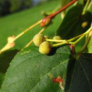 Winter-Linde (Tilia cordata)