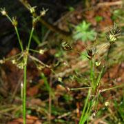 Wimper-Hainsimse (Luzula pilosa)