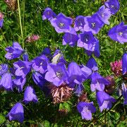 Scheuchzer-Glockenblume (Campanula scheuchzeri)