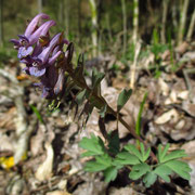 Finger-Lerchensporn (Corydalis solida)