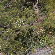 Österreich-Sesel (Seseli austriacum)