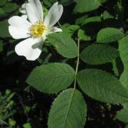 Gebüsch-Rose (Rosa corymbifera s.lat.)