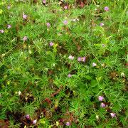 Tauben-Storchschnabel (Geranium columbinum)